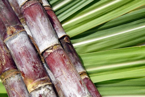Canne à sucre Réunion Rhum